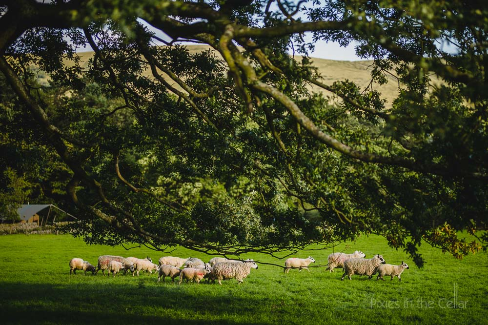 Peak district sheep Edale