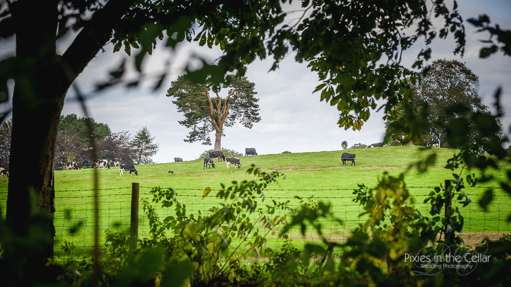 cows at capesthorne hall