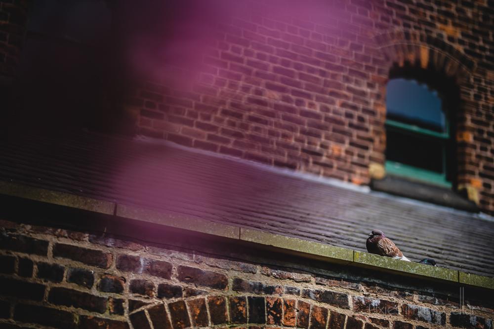 A manchester pigeon